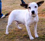1-26spcaearhound11