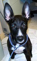 1109aaablackearhound11