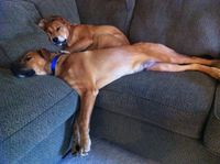 630701dogsoncouch