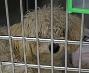131irvinginjured dog