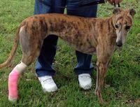 430girliegreyhound13