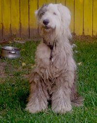 724houstonsheepdog