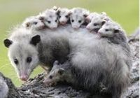 327possums