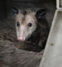 202lutherthepossum