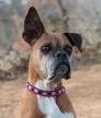 929mulliganearhound