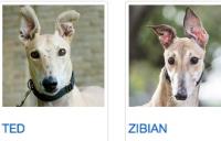 716tedzibianearhounds