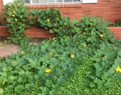928pumpkinplants