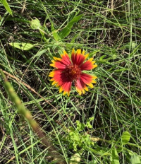 511fieldflower