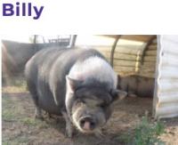 1030spcabily the pig