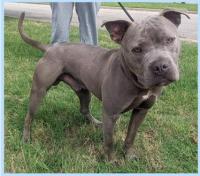 526BLUE LANC DOG
