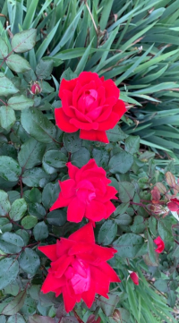 520frontyardflowers