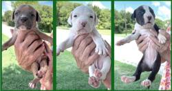 708 3 lanc puppies