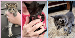 6-03-lanc kittens
