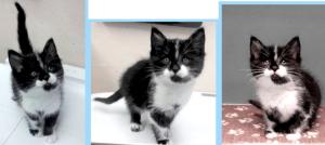 526 lanc kitten