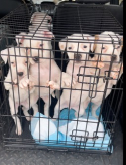 1015 ok box of dogs in pen