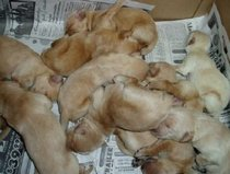 Candygoldens